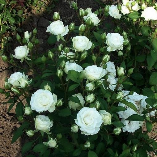 Роза спрей Snow Dance С4