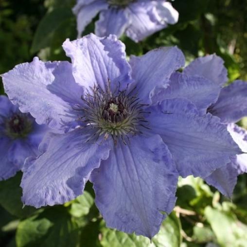 Клематис Blue Angel  С2