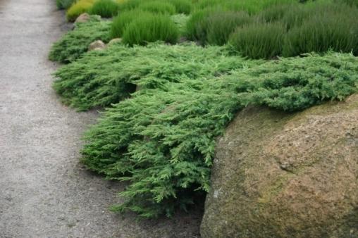 Можжевельник обыкновенный Green Carpet С10 50-60