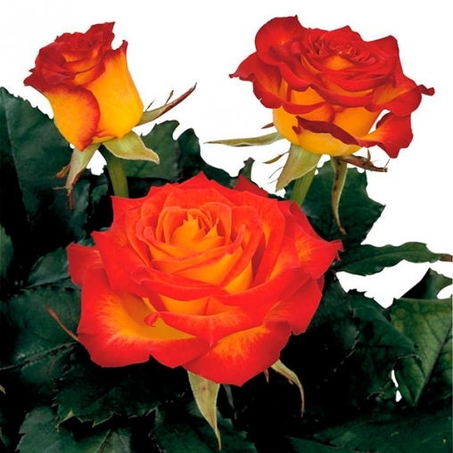 Роза чайно-гибридная High Society С6