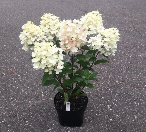 Гортензия метельчатая Little Blossom 4-6 веток С4