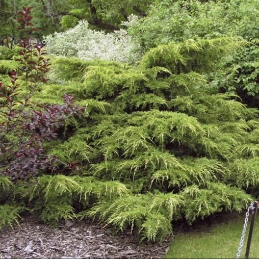 Можжевельник средний Pfitzeriana Aurea C3 50-60