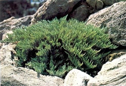 Можжевельник казацкий Tamariscifolia С10 50-60