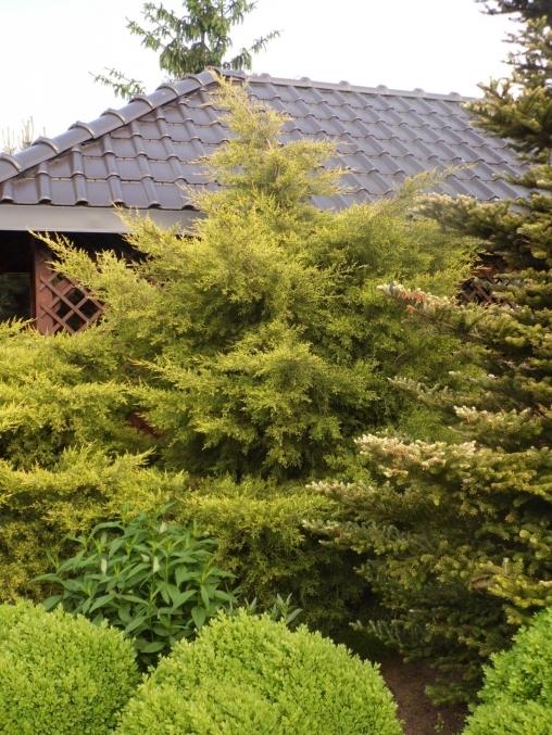 Можжевельник китайский Kuriwao Gold С5 40-60