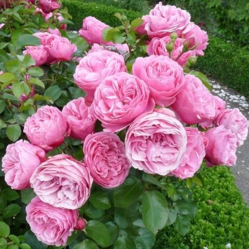 Роза флорибунда Leonardo da Vinci C6