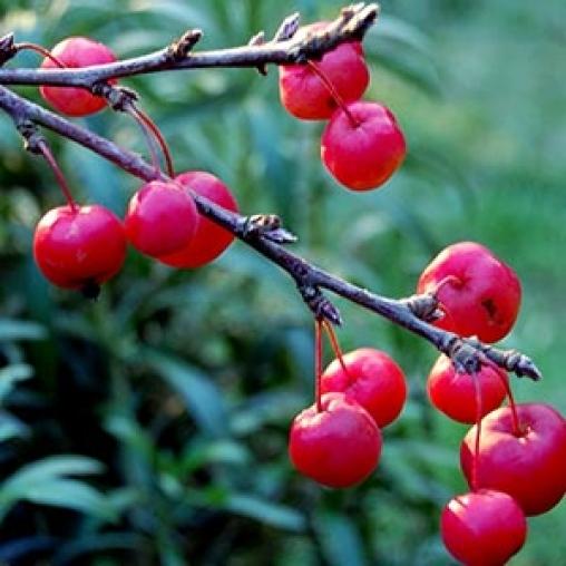 Яблоня декоративная Hopa 200-250 С25