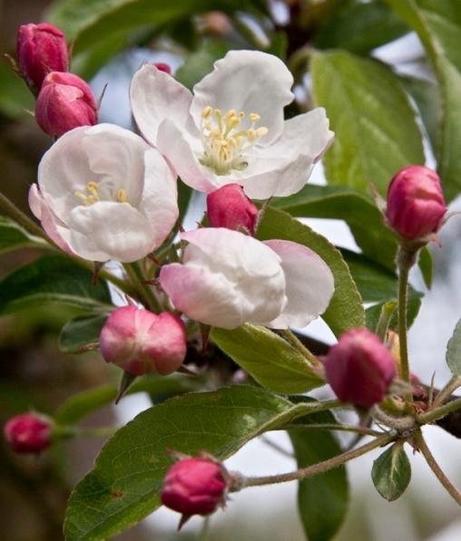Яблоня декоративная Зибольда (Торинго) 80-100 С15