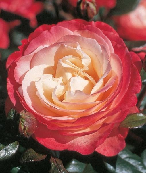 Роза чайно-гибридная Nostalgie С6
