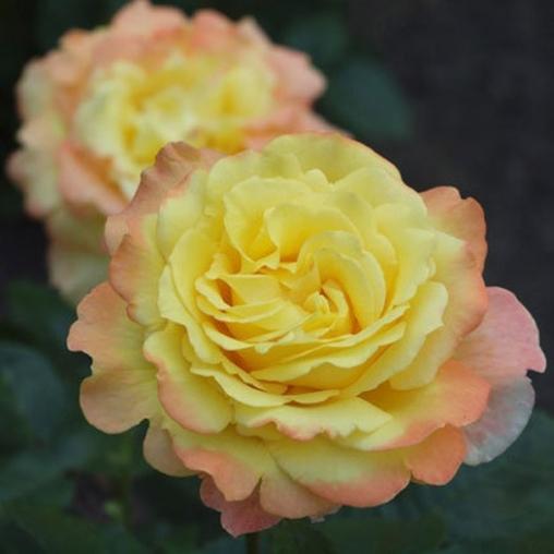 Роза чайно-гибридная Peer Gynt С6