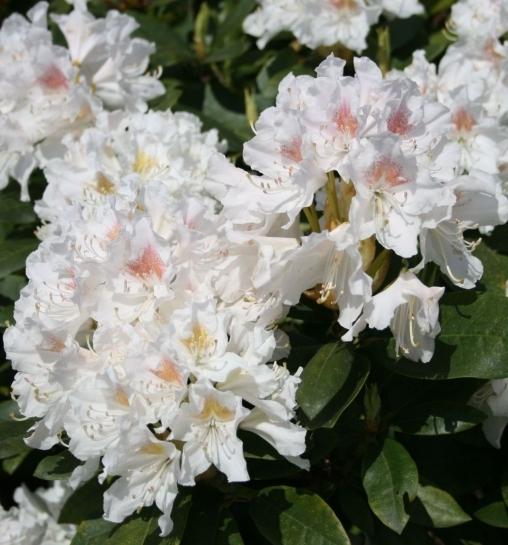 Рододендрон кэтевбинский Cunninghams White P9