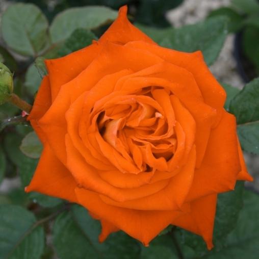 Роза чайно-гибридная Ksusha С6