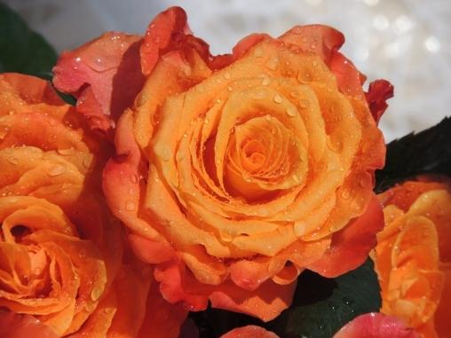 Роза чайно-гибридная Kerio С6