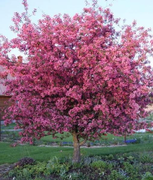Яблоня декоративная Нездведского 1летка