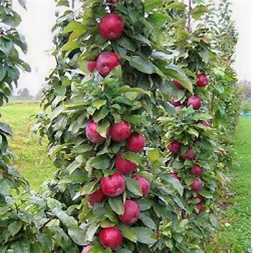 Яблоня декоративная Манящий аромат 1летка