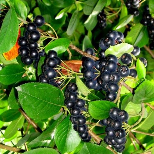 Арония черноплодная 100-125 5-6 веток окс