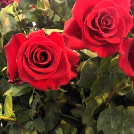 Роза чайно-гибридная Forever Young С6