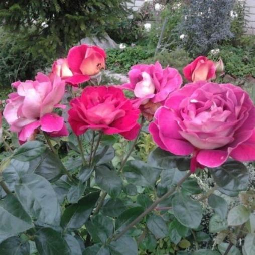 Роза чайно-гибридная Kronenbourg С6
