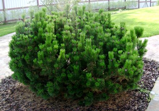 Сосна горная Mughus 30-40 C5