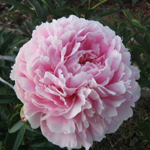 Пион молочноцветковый Sarah Bernhardt 2летний С6