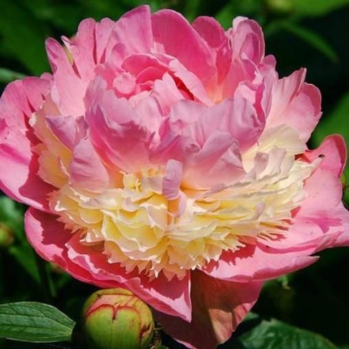 Пион молочноцветковый Sorbet С3