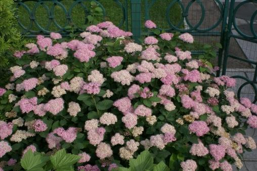 Спирея густоцветковая С2 25-30
