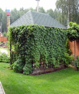 Виноград девичий пятилисточковый С2