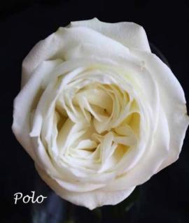 Роза чайно-гибридная Polo С6