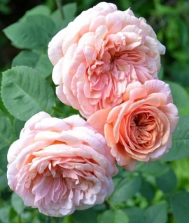 Роза английская Abraham Darby С6