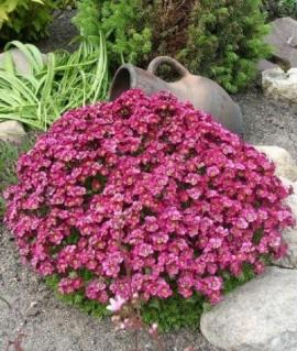 Арабис кавказкий Little Treusure розовый Р9