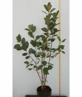 Арония черноплодная 30-50 С2