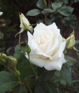 Роза чайно-гибридная Boeing С6