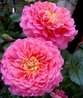 Роза английская Christopher Marlowe С6
