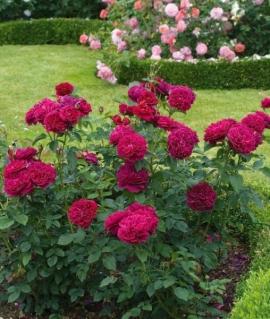 Роза английская Darcey Bussell  С6