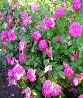 Роза канадская David Thompson С6