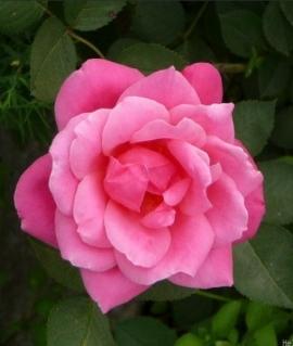 Роза канадская De Montarville С6