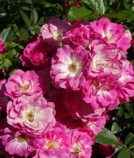 Роза почвопокровная Degenhard  С4