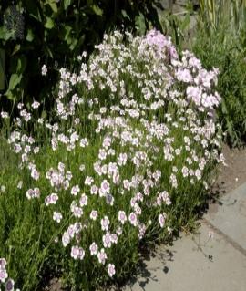 Гвоздика травянка Confetti White C2