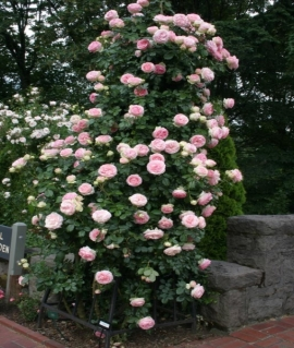 Роза плетистая Eden Rose (Pierre de Ronsard)  С6
