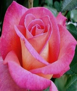 Роза чайно-гибридная Eva С6