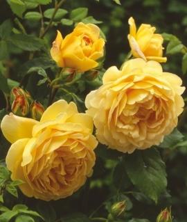 Роза английская Golden Celebration С6