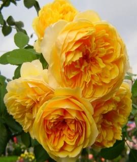 Роза английская Graham Thomas С6
