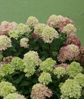 Hydrangea paniculata Cotton Cream