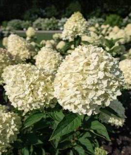 Гортензия метельчатая Cotton Cream 4-6 веток С4