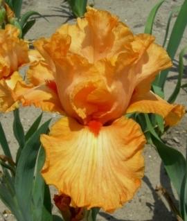 Ирис карликовый Orange Caper C2