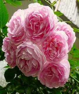 Роза плетистая Jasmina С6