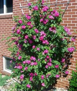 Роза канадская John Cabot С6