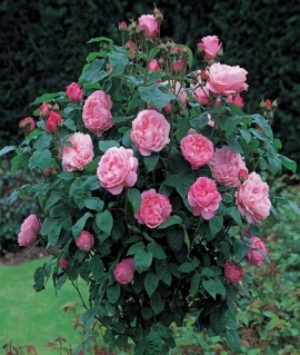 Роза английская Mary Rose С6