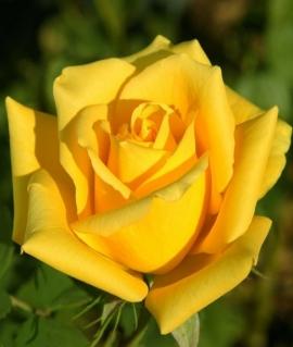Роза чайно-гибридная Mohana С6