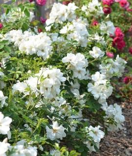 Роза канадская Morden Snowbeauty С6