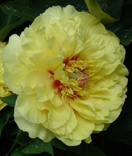 Пион Ито-гибрид Garden Treasure 3 года С6